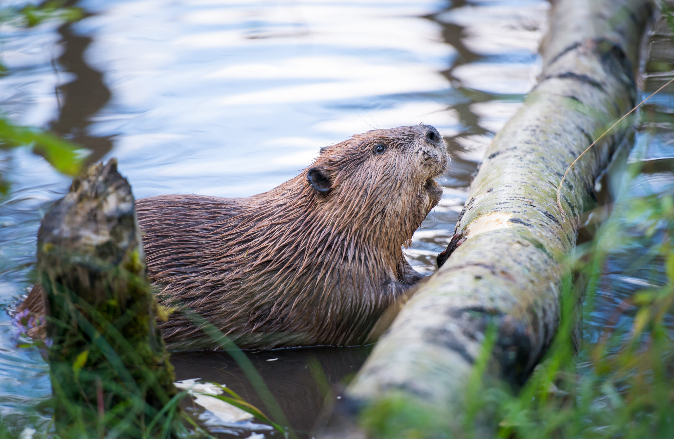 Exmoor beavers: The heroes we need right now?
